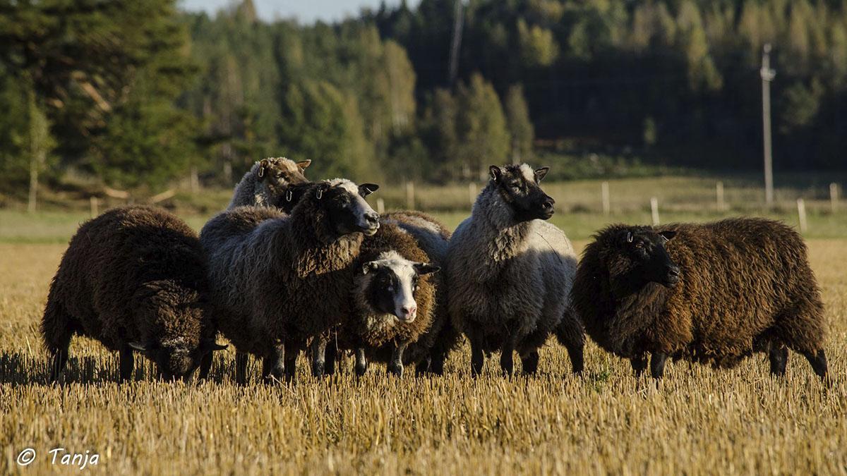 lammaslauma syysiltana sänkipellolla